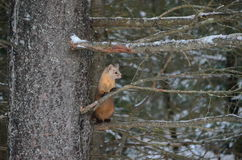 Pine Marten on a tree branch in winter. In Algonquin Park, Ontario, Canada Stock Photo