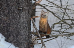 Pine Marten on a tree branch in winter. In Algonquin Park, Ontario, Canada Royalty Free Stock Photos