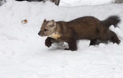Pine marten walking in deep white snow, profile view, in winter Royalty Free Stock Photo