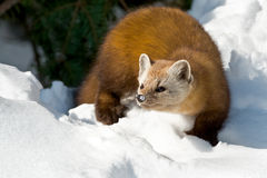 Pine Marten. Walking in the snow looking to the left. Algonquin Provincial Park, Ontario, Canada Royalty Free Stock Photos