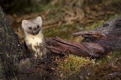 Pine Martens Royalty Free Stock Photo