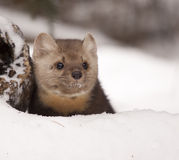 Pine Martin Royalty Free Stock Photos