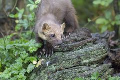 Pine martin portrait. Pine martin close up portrait while hunting, stalking and eating in grass, woodland Royalty Free Stock Photos
