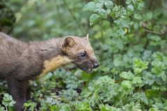 Pine martin portrait. Pine martin close up portrait while hunting, stalking and eating in grass, woodland Stock Photo
