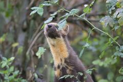 Pine martin portrait Stock Photography