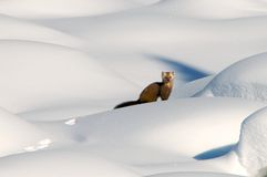 Pine Martin in deep snow. A view of a Pine Martin making its way across deep snowdrifts.  Genus:  Martes martes Royalty Free Stock Photos