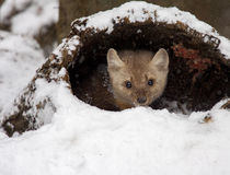 Pine martin hiding in hollow log in snow during winter time Stock Image