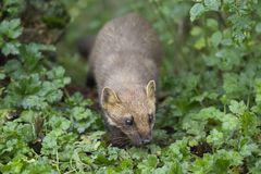 Pine martin portrait Royalty Free Stock Images
