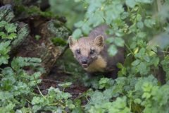 Pine martin portrait Royalty Free Stock Photography