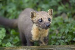 Pine martin portrait Royalty Free Stock Image