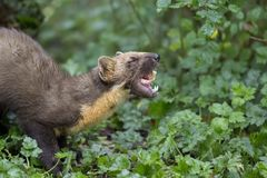 Pine martin portrait. Pine martin close up portrait while hunting, stalking and eating in grass, woodland Stock Image