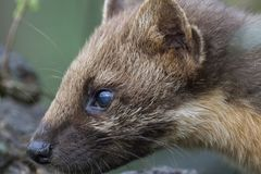 Pine martin portrait. Pine martin close up portrait while hunting, stalking and eating in grass, woodland Stock Images