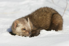 Pine martin in Snow Royalty Free Stock Photography