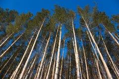Pine mast. Stock Image