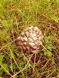 PINE ON THE MEADOW. PINE CONE PINE NUTS NATURE TREE HARDNESS WOOD Royalty Free Stock Image