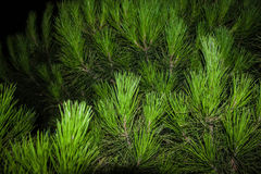 Pine Royalty Free Stock Photography