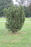 Pine Mexican peals to the wind. Pine Mexican on an isolated background stock photography