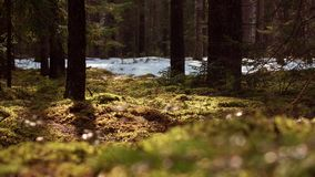 Pine and moss forest panorama. Pine and moss forest panorama 4K stock video