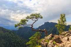 Pine, most famous tree in Pieniny Mountains Stock Image