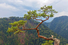 Pine, most famous tree in Pieniny Mountains Royalty Free Stock Images