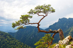 Pine, most famous tree in Pieniny Mountains stock images