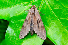 Pine moth. Rests on an ivy leaf Royalty Free Stock Images