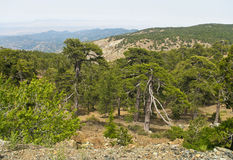 Pine mountain forest Royalty Free Stock Photography