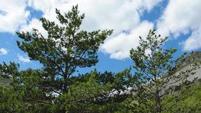 Pine Mountain wind sky Altai. Pines swaying in the wind against the background of a cloudy blue sky, the Altai Mountains, Siberia, Russia. Live sound stock footage