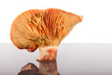 Pine mushroom Royalty Free Stock Photography