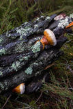 Pine mushroom/ Stock Photos
