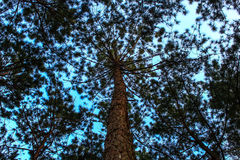 Pine. Among natural pine forest Thailand Royalty Free Stock Images