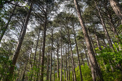 Pine nature green wood sunlight backgrounds. Pine forest trees. nature green wood sunlight backgrounds Royalty Free Stock Images