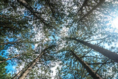 Pine nature green wood sunlight backgrounds. The majestic evergreen pine forest view from the bottom up Royalty Free Stock Images