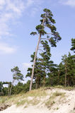 Pine near the Baltic sea Royalty Free Stock Photos