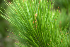 Pine needle Royalty Free Stock Image