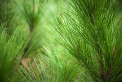 Pine needle Royalty Free Stock Images