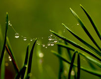 Pine needle Stock Photography