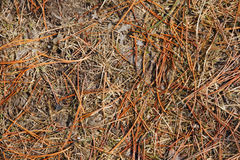 Pine needle Stock Photography