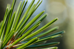Pine needle closeup. Closeup of a lodgepole pine (Pinus contorta) needles against a blurred background Stock Photos