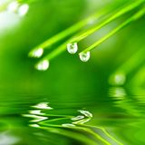 Pine needle with dewdrops Royalty Free Stock Image