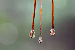 Pine Needle Droplets. Three pine needles each with a water dropet on the end royalty free stock images