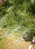 Pine needle Stock Photo