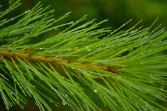 Pine needle after the rain Royalty Free Stock Photos
