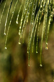 Pine Needle Shower Royalty Free Stock Photography