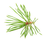 Pine needle Royalty Free Stock Photo
