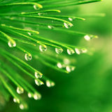 Pine Needle With Dewdrops Stock Photography