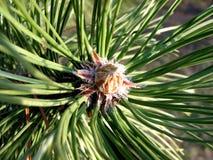 Free Pine Needles 1 Royalty Free Stock Photos - 428698