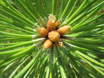 Pine Needles. Closeup on pine branch top with green needles Royalty Free Stock Images