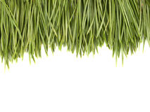 Pine needles. On a white background close up Royalty Free Stock Image