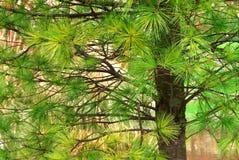 Pine Needles Royalty Free Stock Photos